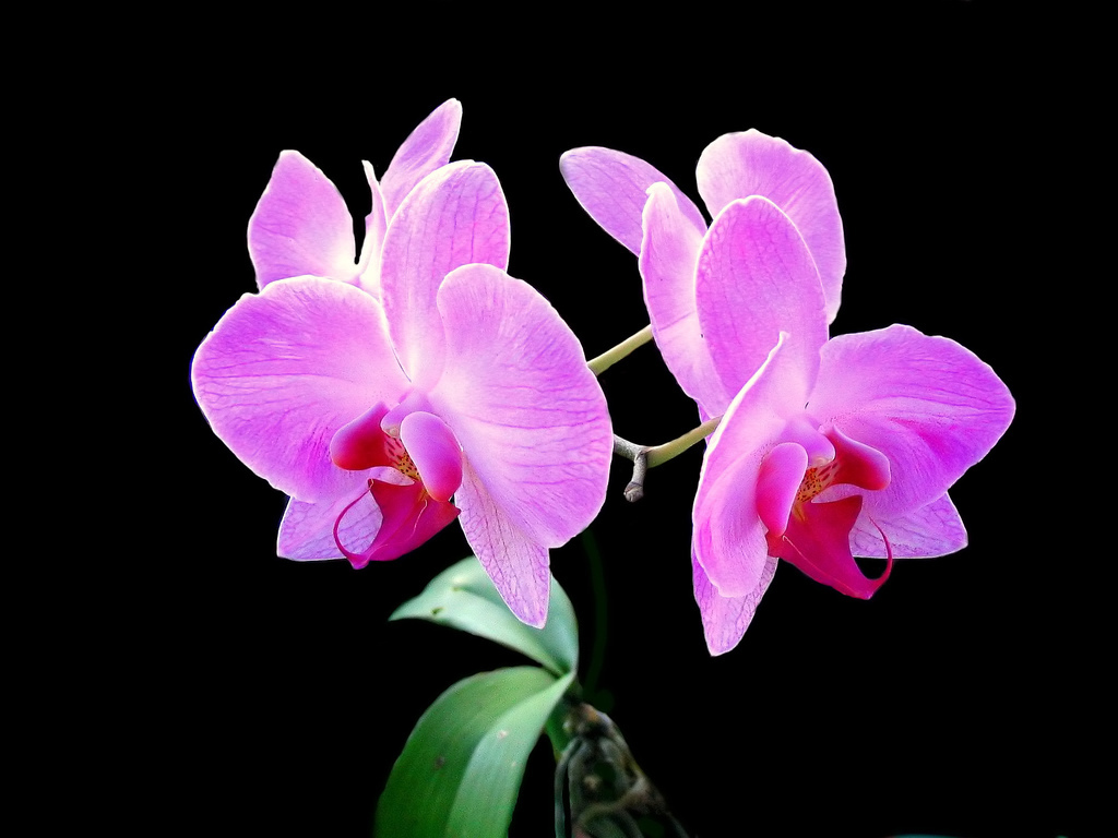 Pink Flowers Flowers Board Orchid Flowers Black Flowers Beautiful Flowers